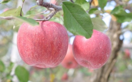 [№5865-0209]平成31年度 りんごの木オーナー