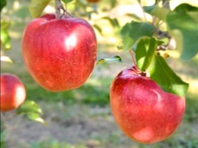 信州りんごシナノスイート約5kg