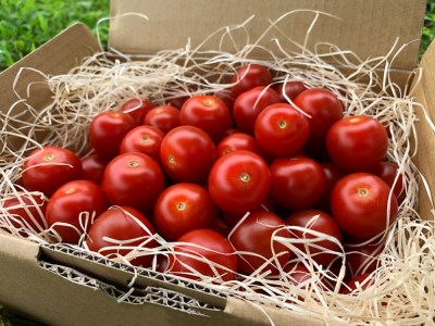 《事前予約開始》初代『飛騨美濃特産トマト名人』に選ばれたトマト名人坪根邦一の作る特別栽培ミニトマト 1kg 飛騨産 [Q235]