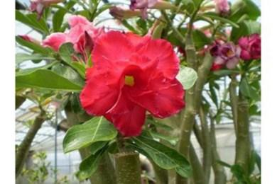 21幻の八重咲き「天空のバラ」と季節の鉢花セット