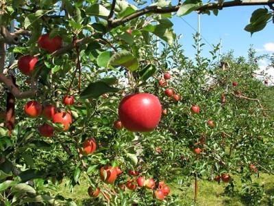 [A31-027]りんご 5kg(10月発送)