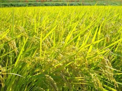 【先行予約】自然農法<農薬を一切使わず栽培>白米5kg《令和3年 京都丹波産 新米 無農薬栽培向き 厳選品種 にこまる》※11月より順次発送予定