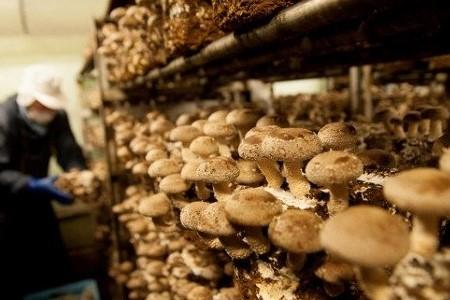 FL02SM-C 【森の木ファーム】淡路島産の菌床生椎茸(しいたけ)