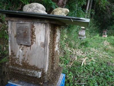 【0501-A18】日本蜜蜂ハチミツ《吉野ハニー》