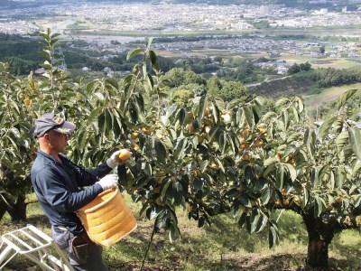 """柳フルーツ園 """"訳あり""""富有柿(約5kg)"""
