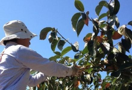 あさみ農園のたねなし柿(11~13個、2~4Lサイズ)