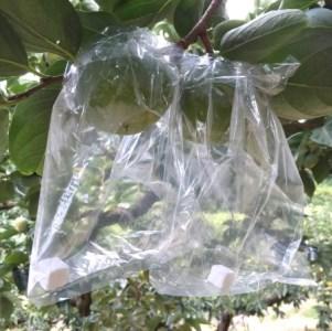 小林農園 紀ノ川柿(9~10個、3~4Lサイズ)