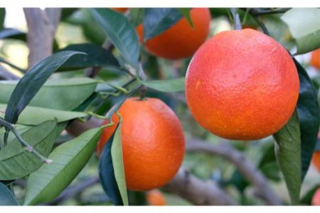 【2625-0318】【希少・高級柑橘】国産濃厚ブラッドオレンジ「タロッコ種」約3kg