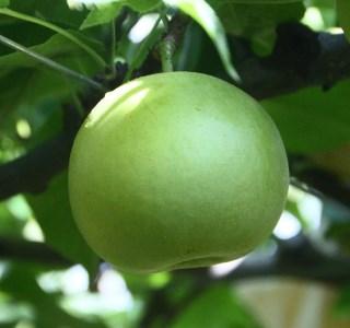 【013】二十世紀梨(ご家庭用 小玉(3キロ)やぶやフルーツガーデン)