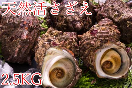 天然サザエ 2.5Kg (殻付き) 【高間商店】