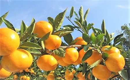 大長みかん 赤秀 Mサイズと大長檸檬5個(10kg)