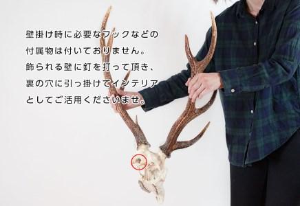 二ホンジカ頭骨付き角 壁掛け(大)