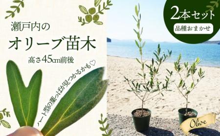 瀬戸内のオリーブ苗木2本セット