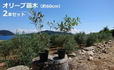 小豆島のオリーブ苗木 2本セット(大)