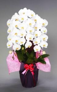 須崎洋蘭園 胡蝶蘭 3本立てスタンダード