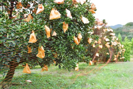 千の果樹園の土佐文旦5kg家庭用
