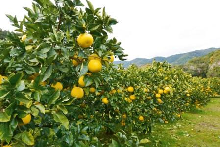 甘さと酸味のバランスにこだわり!千の果樹園の文旦(贈答用10kg)