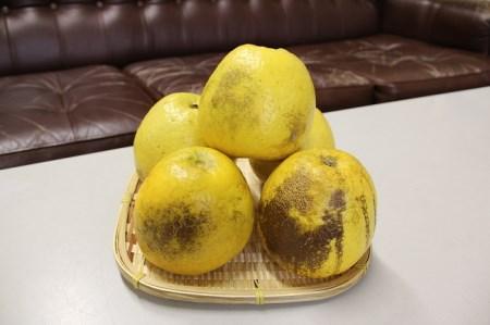 [017039]成田果樹園の河内晩柑 10kg【訳あり・加工用・搾汁用】