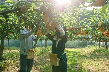 19-546.【期間限定】マルミネ農園の竹島梨 5kg(12個~13個)