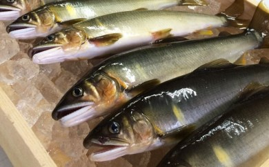 F-01 四万十川上流の天然鮎新もの 釣り鮎(4~14 尾)【着荷指定不可】