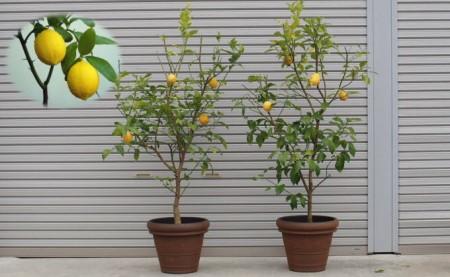 の 木 レモン レモンの木を鉢植えで1年育てたら、とんでもないことが分かった!