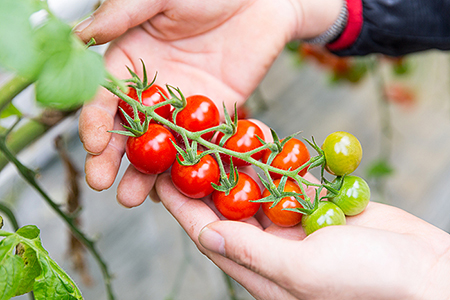 C-021.永尾産ちの1番人気フルーツミニトマト