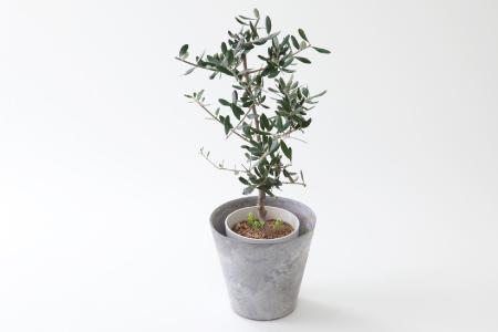 観葉植物「オリーブ」【お部屋のアクセントに♪】C-298