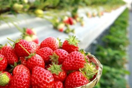 DY039_佐賀県産いちごさん 合計約1㎏ 250g×4P 苺 いちご イチゴ