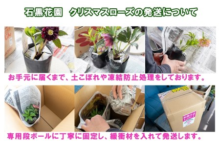 【石黒花園直送】クリスマスローズオリジナルセット(ダブル5鉢・希少種含)北海道生産量No.1