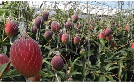 【先行予約】 最高級ブランド 「太陽のタマゴ」西都産完熟マンゴー(JA西都)<3-18>