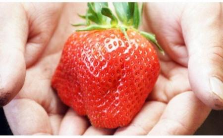 【個数限定】苺 大野屋 厳選大粒 やよいひめ ダブル2P<2-27>