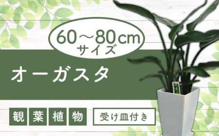 オーガスタ7号サイズ 白色プラスチック鉢(受け皿付き)(緑の中道)