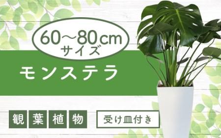 【観葉植物】モンステラ 7号鉢(緑の中道)
