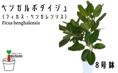 【観葉植物】 ベンガルボダイジュ(フィカス・ベンガレンシス) 8号鉢 (Green Base)