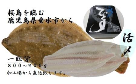 A1-3061/ヒラメ塩締めロイン刺身用(海水塩締め)1尾分