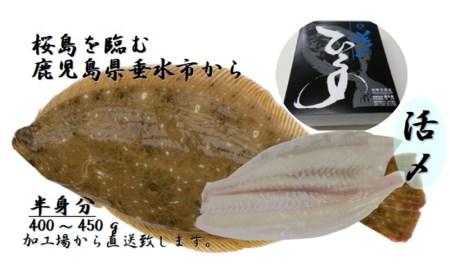 A1-3058/ヒラメ塩締めロイン刺身用(海水塩締め冷凍)半身
