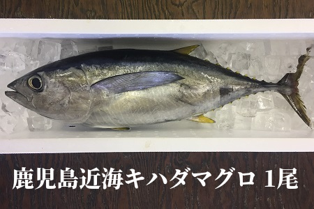 008-57 鹿児島近海キハダマグロ1尾