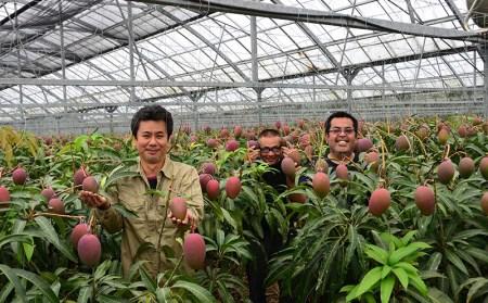 【2020年発送】金武町のアップルマンゴー◆贈答用◆約1kg(2~3玉)