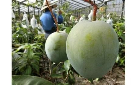 【2020年発送】神谷フルーツ園 キーツマンゴー2kg