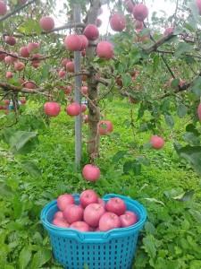 11~12月 【訳あり】キラ農法 完熟りんごサンふじ約5kg