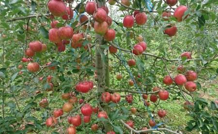 りんご 「つがる」 14~20玉 約5kg 【2020年産・先行受付】