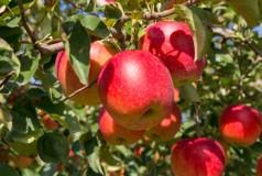 FY18-396 山形産 バラ詰め ふじりんご 10kg