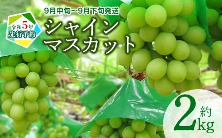A51-444 シャインマスカット 約2kg(3~5房)鶴岡市産フルーツ・果物