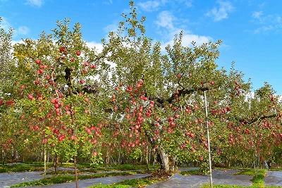 【樹上完熟りんご】食べ比べセット 3kg (サンふじ&シナノゴールド) 010-B20