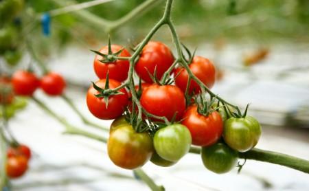中玉フルーツトマト1kg、カラフルMIXトマト1kg 計2キロ