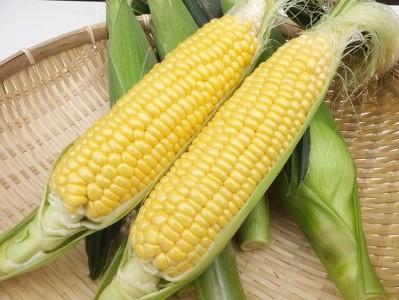 【関東限定】朝に収穫したもぎたてを当日中にお届け!朝採りトウモロコシ(13本入・約5kg)※6/29(火)にお届け