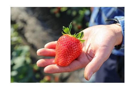 【2609-0068】【先行予約】とろける美味しさ!澳原いちご農園の完熟朝摘みスカイベリー!
