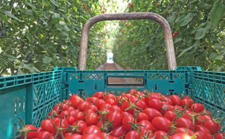 [№5613-0010]メグちゃん工房のカラフルミニトマト3種の【アイコ】約3kg