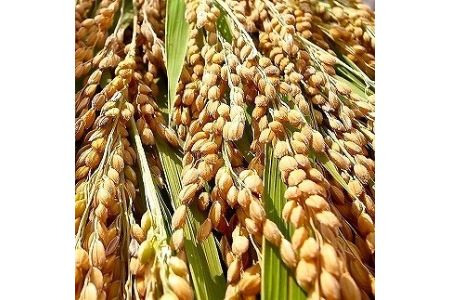 【令和2年度産】《定期便》【低農薬/無洗米】  『こしひかり』 5kg×3ヵ月