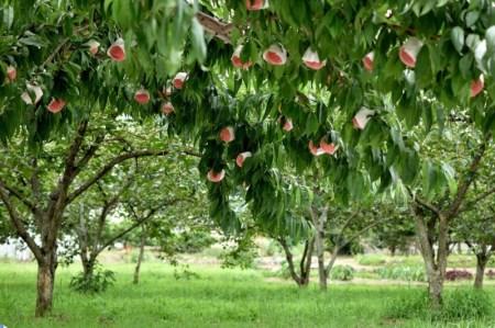 山梨県産 白桃大玉1.5kg (4~6玉)&白桃セミドライフルーツ(ミニ)